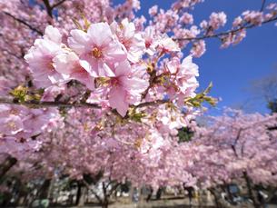 満開のサクラの花の写真素材 [FYI04836871]