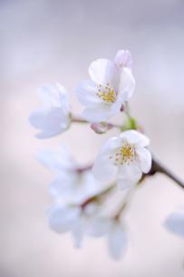 2021_桜_011の写真素材 [FYI04836896]