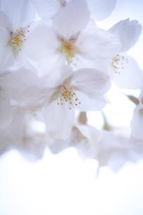 2021_桜_008の写真素材 [FYI04836899]