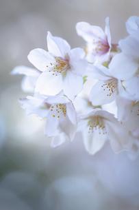2021_桜_007の写真素材 [FYI04836900]