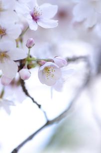 2021_桜_006の写真素材 [FYI04836901]