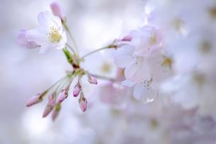 2021_桜_005の写真素材 [FYI04836902]
