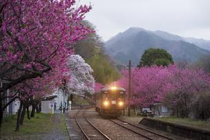 夜明の谷間に共演する満開の桜とハナモモのトンネルを縫って明かりを照らしてわたらせ渓谷鉄道神戸駅に入線する上り始発列車の写真素材 [FYI04836904]