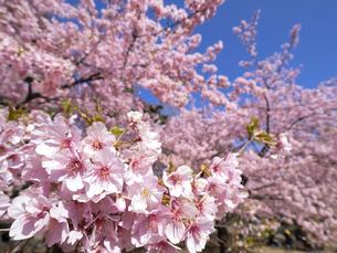 満開のサクラの花の写真素材 [FYI04836914]