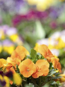 ビオラの花 の写真素材 [FYI04837000]