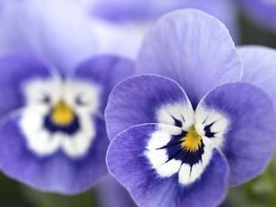 ビオラの花 の写真素材 [FYI04837004]
