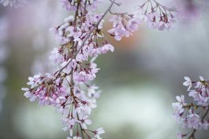 枝垂桜の写真素材 [FYI04837302]