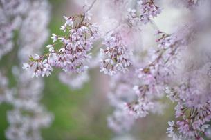 枝垂桜の写真素材 [FYI04837303]
