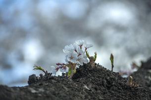 桜の写真素材 [FYI04837313]