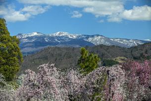 枝垂桜と残雪の蔵王連山の写真素材 [FYI04837314]