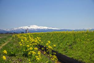 菜の花と残雪の月山の写真素材 [FYI04837326]