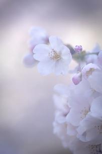 2021_桜_016の写真素材 [FYI04837375]