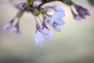 2021_桜_014の写真素材 [FYI04837377]