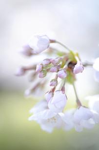 2021_桜_013の写真素材 [FYI04837378]