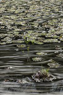 稲田園の蓮池と桜の花筏の写真素材 [FYI04837419]