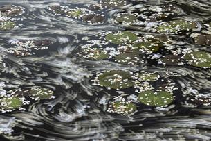稲田園の蓮池と桜の花筏の写真素材 [FYI04837424]