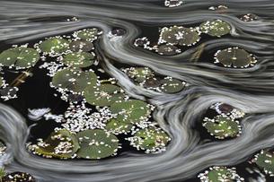 稲田園の蓮池と桜の花筏の写真素材 [FYI04837425]