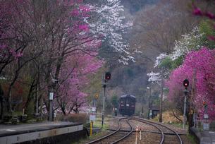 夜明 桜 ハナモモなど満開の神戸駅より谷間に消えていくローカル鉄道始発普通列車の写真素材 [FYI04837432]