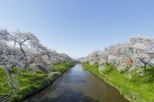新境川の桜並木(百十郎桜)の写真素材 [FYI04837449]
