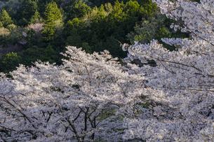 各務原市須衛の桜の風景の写真素材 [FYI04837450]