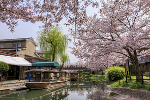 桜満開の濠川を行く伏見十石舟の写真素材 [FYI04837456]