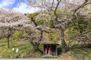 満開の桜とお地蔵様の写真素材 [FYI04837463]
