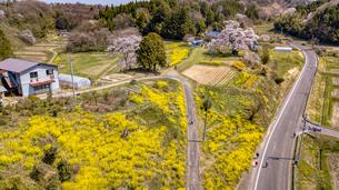 満開の塩ノ崎の大桜と菜の花の写真素材 [FYI04837469]