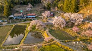 黄昏の中島の地蔵桜の写真素材 [FYI04837471]