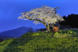 小沢の桜の写真素材 [FYI04837472]