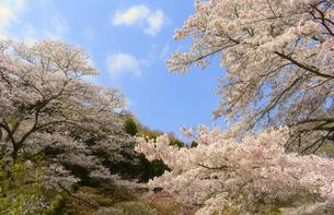 東秩父村 和紙の里の桜の写真素材 [FYI04837562]