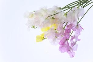 白バックの様々な色のスイートピーの写真素材 [FYI04837588]