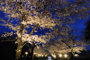 ライトアップされた桜 の写真素材 [FYI04837595]