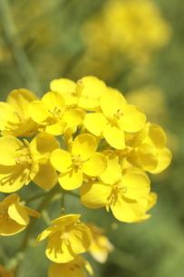菜の花の花びら の写真素材 [FYI04837597]