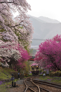夜明 谷間に咲く満開のハナモモ、サクラなどの花並木とわたらせ渓谷鉄道神戸駅付近 の写真素材 [FYI04837609]