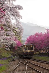 夜明 満開の桜 ハナモモなどが共演する谷間とローカル鉄道の写真素材 [FYI04837623]