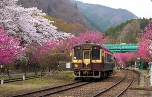 満開のハナモモやサクラ咲くわたらせ渓谷鉄道神戸駅に入線する列車の写真素材 [FYI04837624]