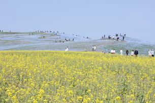 コロナ禍による臨時休園開始日前日の「みはらしの里」付近のナノハナとネモフィラが咲く「みはらし丘」の写真素材 [FYI04837626]