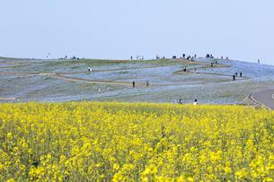 コロナ禍による臨時休園開始日前日の「みはらしの里」付近のナノハナとネモフィラが咲く「みはらし丘」の写真素材 [FYI04837633]