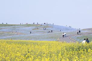 コロナ禍による臨時休園開始日前日の「みはらしの里」付近のナノハナとネモフィラが咲く「みはらし丘」の写真素材 [FYI04837634]