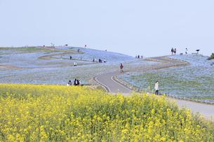 コロナ禍による臨時休園開始日前日の「みはらしの里」付近のナノハナとネモフィラが咲く「みはらし丘」の写真素材 [FYI04837636]