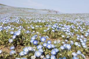コロナ禍による臨時休園開始日前日の「みはらしの丘」に咲いた満開前のネモフィラの写真素材 [FYI04837643]