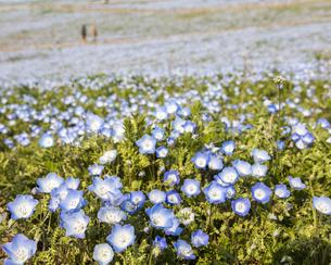 コロナ禍による臨時休園開始日前日の「みはらしの丘」に咲いた満開前のネモフィラの写真素材 [FYI04837647]