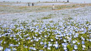 コロナ禍による臨時休園開始日前日の「みはらしの丘」に咲いた満開前のネモフィラの写真素材 [FYI04837650]