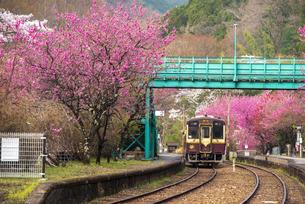 満開のハナモモやサクラ咲くわたらせ渓谷鉄道神戸駅に停車中の列車の写真素材 [FYI04837655]