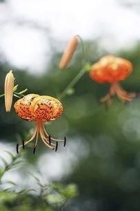 山野草・オニユリの花の写真素材 [FYI04837870]