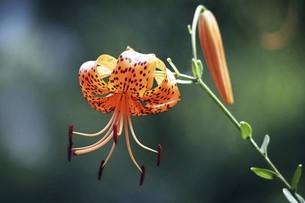 山野草・オニユリの花の写真素材 [FYI04837871]