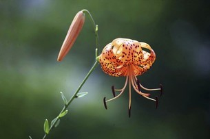 山野草・オニユリの花の写真素材 [FYI04837872]