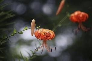 山野草・オニユリの花の写真素材 [FYI04837873]