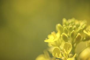 屋外で撮影した菜の花の写真素材 [FYI04837890]