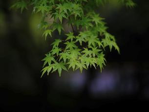 青楓の写真素材 [FYI04837908]